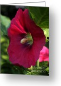 Hollyhock Greeting Cards - Red Hollyhock in Bloom Greeting Card by Marjorie Imbeau