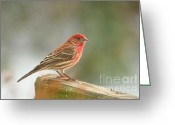 House Finch Greeting Cards - Red House Finch Greeting Card by Pamela Baker