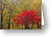 Maple Leaf Greeting Cards - Red Into Yellow Greeting Card by Eggers   Photography
