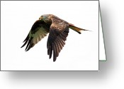 Galloway Greeting Cards - Red Kite In Flight Greeting Card by Grant Glendinning Photography