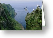 Rock Groups Greeting Cards - Red-legged Kittiwakes On A Crowded Greeting Card by Joel Sartore