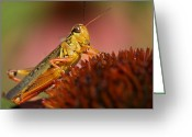 Grasshopper Greeting Cards - Red Legged Locust Greeting Card by Juergen Roth