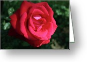 Photo Art Greeting Cards - Red Let Freedom Ring Hybrid Tea Rose Greeting Card by Jose Valeriano