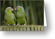 Amazon Parrot Greeting Cards - Red-lored Parrot Amazona Autumnalis Greeting Card by Pete Oxford