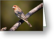 House Finch Greeting Cards - Red Male House Finch Greeting Card by Bill Tiepelman