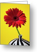 Chrysanthemum Greeting Cards - Red mum against yellow background Greeting Card by Garry Gay
