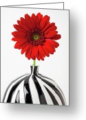 Chrysanthemum Greeting Cards - Red mum in striped vase Greeting Card by Garry Gay