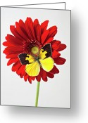 Vibrant Photo Greeting Cards - Red mum with Dogface butterfly Greeting Card by Garry Gay