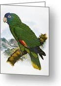 Amazon Parrot Greeting Cards - Red-necked Amazon Parrot Greeting Card by Granger