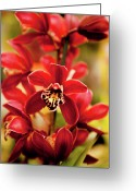 Stamen Greeting Cards - Red Orchid Flowers Greeting Card by Dan Pfeffer