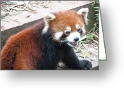 Unusual Raccoon Greeting Cards - Red Panda Greeting Card by Carla Parris