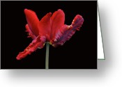 Indiana Flowers Greeting Cards - Red Parrot Tulip Greeting Card by Sandy Keeton