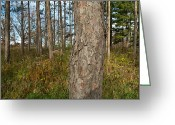 Arboretum Greeting Cards - Red Pine Forest Greeting Card by Steve Gadomski