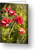 Summer Garden Greeting Cards - Red poppies Greeting Card by Elena Elisseeva