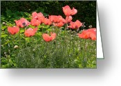 Most Photo Greeting Cards - Red Poppies Greeting Card by Fay Akers