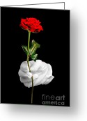 Holding Flower Greeting Cards - Red rose and white glove Greeting Card by Richard Thomas