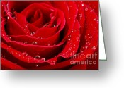Valentine Tenderness Greeting Cards - Red rose Greeting Card by Elena Elisseeva
