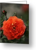 Wien Greeting Cards - Red Rose Greeting Card by Mary Machare