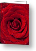 Flora Photo Greeting Cards - Red Rose With Dew Greeting Card by Garry Gay