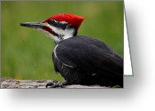 Woodpecker Photos Greeting Cards - Red Greeting Card by Sarah  Lalonde