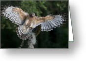 Bird Of Flight Greeting Cards - Red Shouldered Hawk 2 Greeting Card by Wade Aiken