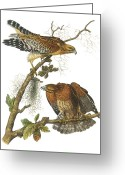 Lithograph Greeting Cards - Red-Shouldered Hawk Greeting Card by John James Audubon