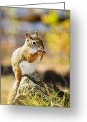 Paws Greeting Cards - Red squirrel Greeting Card by Elena Elisseeva