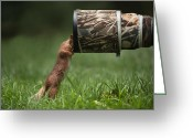 Telephoto Greeting Cards - Red Squirrel inspecting a camera lens. Greeting Card by Andy Astbury