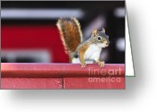 Furry Greeting Cards - Red squirrel on railing Greeting Card by Elena Elisseeva