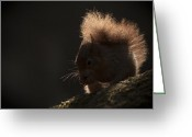 Dark Moss Green Photo Greeting Cards - Red Squirrel with Backlighting Greeting Card by Andy Astbury