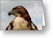 Hunter Photo Greeting Cards - Red Tail Hawk 1 Greeting Card by David Dunham