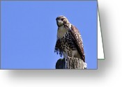 Red Tail Hawks Photo Greeting Cards - Red Tail Hawk Greeting Card by David Simons