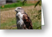 Red Tail Hawks Photo Greeting Cards - Red Tail Hawk Greeting Card by Ken Campbell