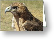Red Tail Hawks Photo Greeting Cards - Red Tail Hawk Greeting Card by Rebecca Shupp
