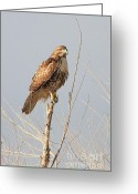 Perched Birds Greeting Cards - Red-Tailed Hawk . 40D11323 Greeting Card by Wingsdomain Art and Photography