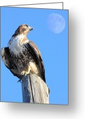 Moons Greeting Cards - Red Tailed Hawk and Moon Greeting Card by Wingsdomain Art and Photography