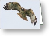 Red-tailed Hawk Greeting Cards - Red Tailed Hawk Finds Its Prey Greeting Card by Wingsdomain Art and Photography