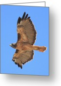 Red-tailed Hawk Greeting Cards - Red Tailed Hawk in Flight 2 Greeting Card by Wingsdomain Art and Photography