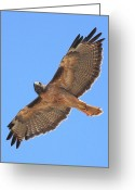 Red-tailed Hawk Greeting Cards - Red Tailed Hawk in flight Greeting Card by Wingsdomain Art and Photography