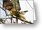 Bison Range Greeting Cards - Red-tailed Hawk Greeting Card by Merle Ann Loman