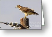 Telephone Pole Greeting Cards - Red Tailed Hawk Perched Greeting Card by Robert Frederick
