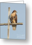 Red Tail Hawks Photo Greeting Cards - Red Tailed Hawk Scanning For Prey Greeting Card by JB Photography