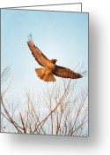 Bare Tree Greeting Cards - Red-tailed Hawk Takes Flight At Sunset Greeting Card by Susan Gary