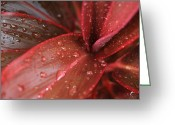Jewel Tones Digital Art Greeting Cards - Red Ti  -  Cordyline terminalis Greeting Card by Sharon Mau