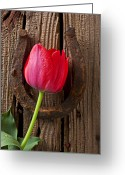 Lucky Greeting Cards - Red Tulip And Horseshoe  Greeting Card by Garry Gay