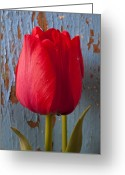 Peeling Greeting Cards - Red Tulip Greeting Card by Garry Gay