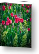 Spring Tulip Greeting Cards - Red tulips in Skagit Valley Greeting Card by Inge Johnsson