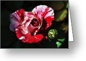 Clayton Photo Greeting Cards - Red Verigated Rose Greeting Card by Clayton Bruster