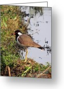 Lapwing Photo Greeting Cards - Red Wattled Lapwing 2 Greeting Card by Padamvir Singh