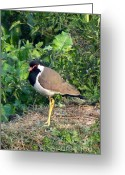 Lapwing Photo Greeting Cards - Red Wattled Lapwing 3 Greeting Card by Padamvir Singh